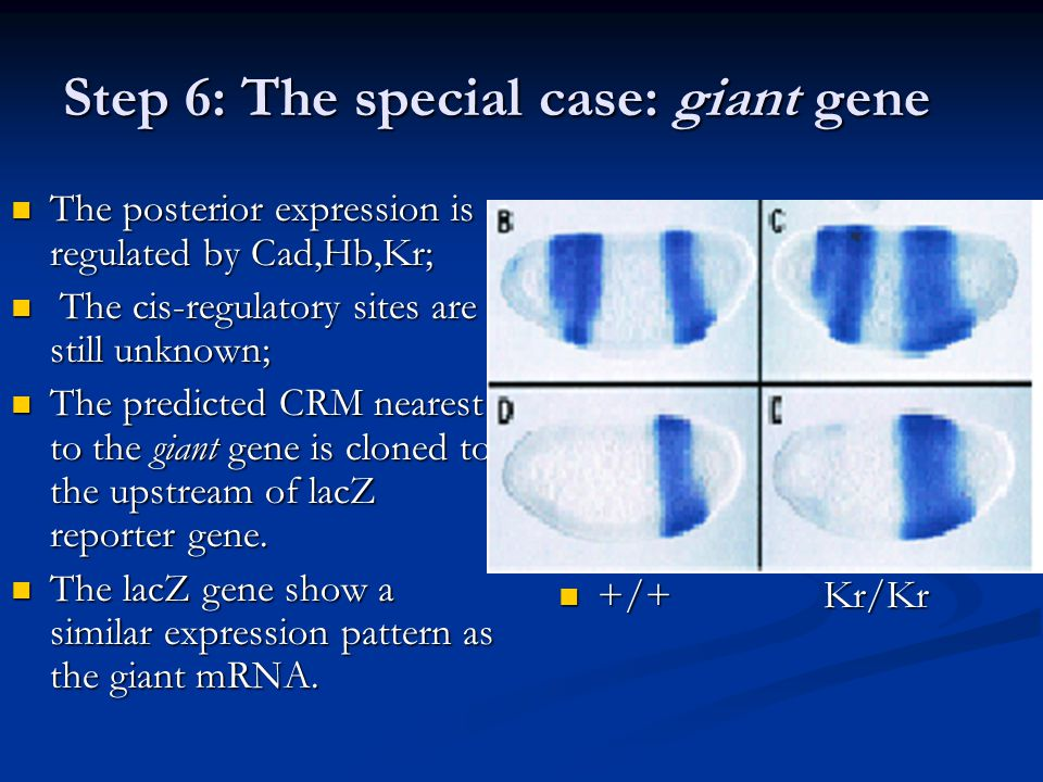 Step 6: The special case: giant gene The posterior expression is regulated by Cad,Hb,Kr; The posterior expression is regulated by Cad,Hb,Kr; The cis-regulatory sites are still unknown; The cis-regulatory sites are still unknown; The predicted CRM nearest to the giant gene is cloned to the upstream of lacZ reporter gene.