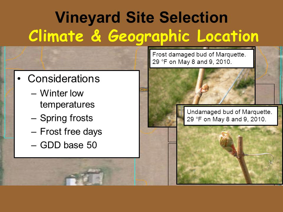 Vineyard Site Selection Climate & Geographic Location Considerations –Winter low temperatures –Spring frosts –Frost free days –GDD base 50 Frost damaged bud of Marquette.