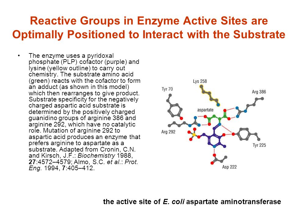 Reactive Groups in Enzyme Active Sites are Optimally Positioned to Interact with the Substrate The enzyme uses a pyridoxal phosphate (PLP) cofactor (p