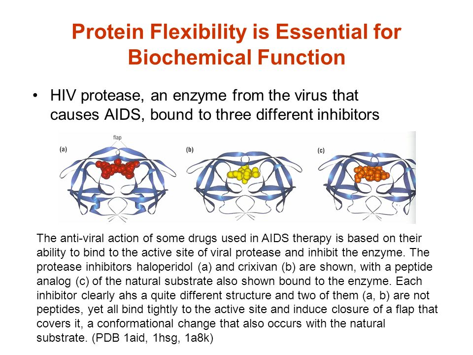 Protein Flexibility is Essential for Biochemical Function HIV protease, an enzyme from the virus that causes AIDS, bound to three different inhibitors