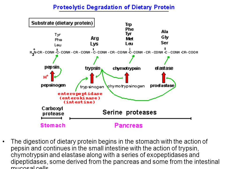 The digestion of dietary protein begins in the stomach with the action of pepsin and continues in the small intestine with the action of trypsin, chym