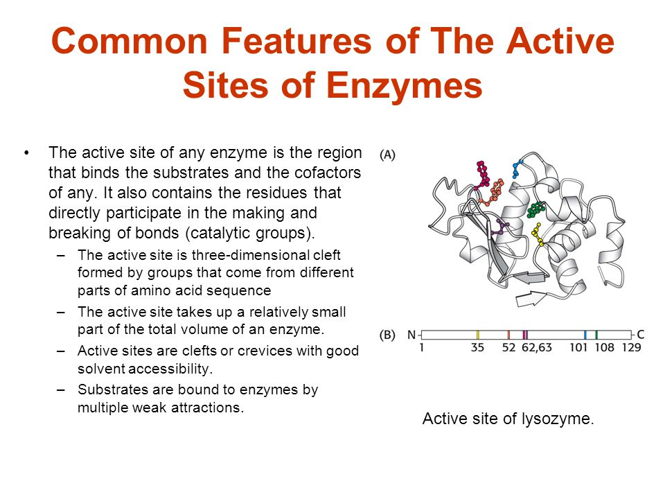 Common Features of The Active Sites of Enzymes The active site of any enzyme is the region that binds the substrates and the cofactors of any. It also