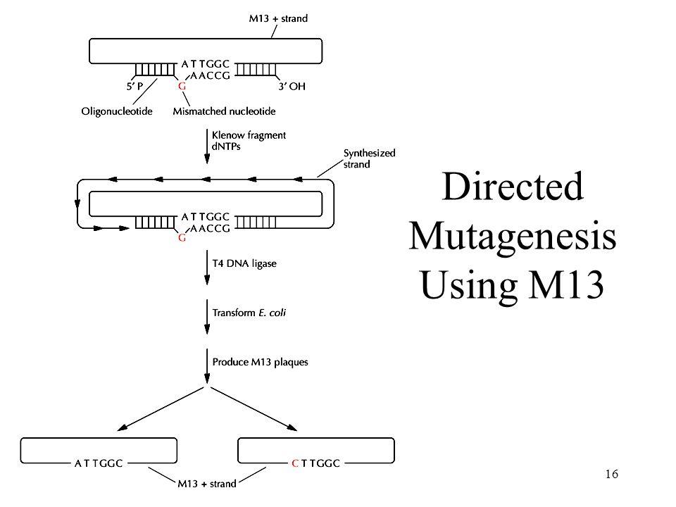 16 Directed Mutagenesis Using M13