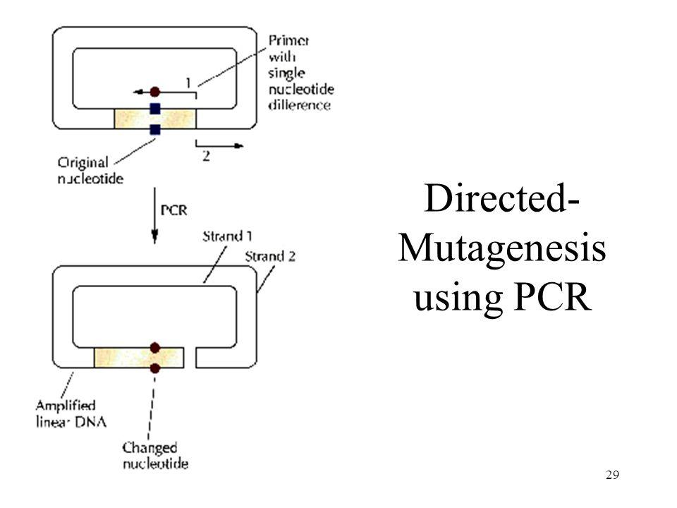 29 Directed- Mutagenesis using PCR
