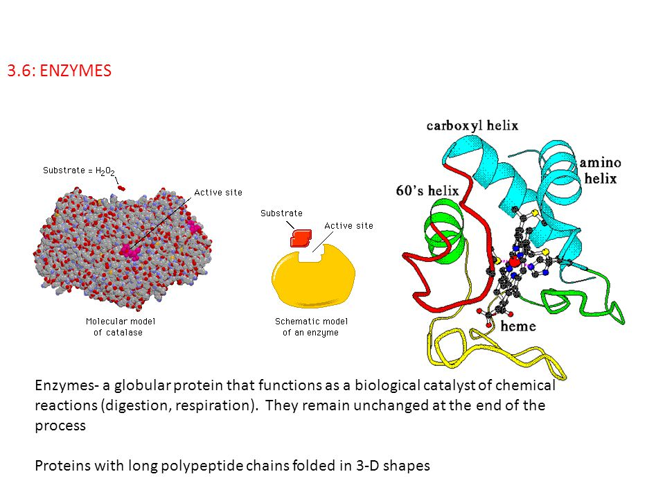 3.6: ENZYMES Enzymes- a globular protein that functions as a biological catalyst of chemical reactions (digestion, respiration). They remain unchanged
