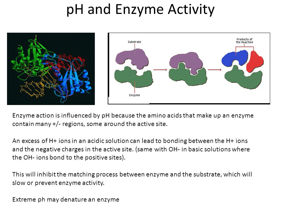 pH and Enzyme Activity Enzyme action is influenced by pH because the amino acids that make up an enzyme contain many +/- regions, some around the acti