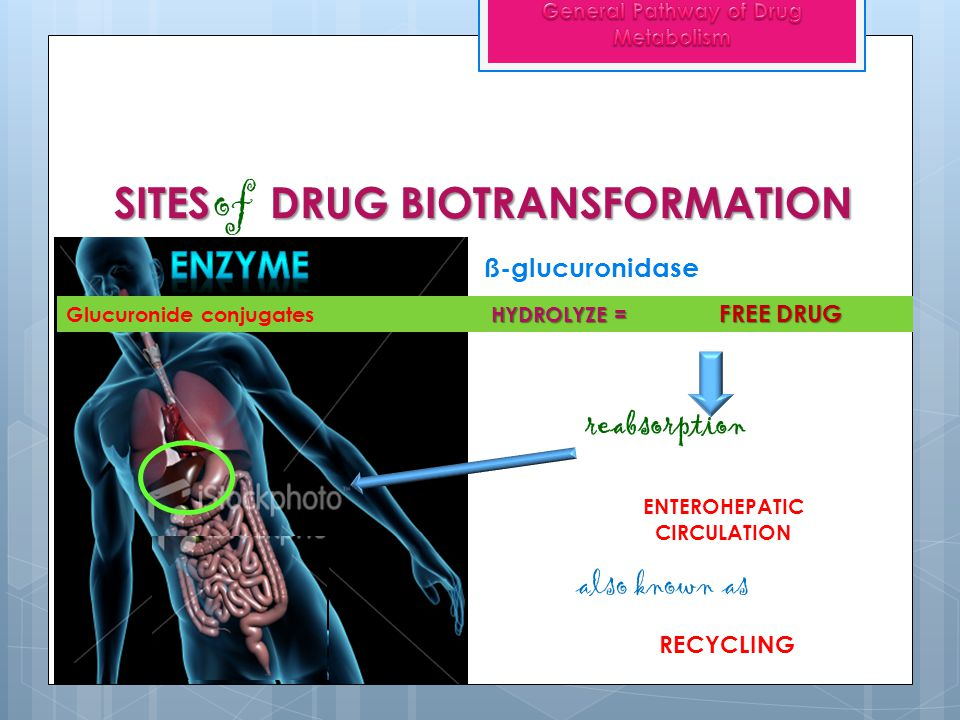 SITES DRUG BIOTRANSFORMATION of ENTEROHEPATIC CIRCULATION reabsorption Glucuronide conjugates HYDROLYZE = ß-glucuronidase FREE DRUG RECYCLING also kno