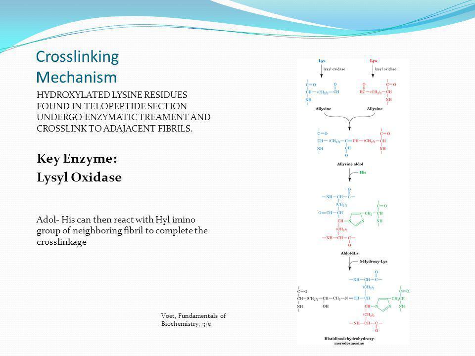 Crosslinking Mechanism HYDROXYLATED LYSINE RESIDUES FOUND IN TELOPEPTIDE SECTION UNDERGO ENZYMATIC TREAMENT AND CROSSLINK TO ADAJACENT FIBRILS. Key En