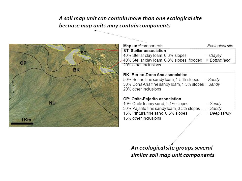 An ecological site groups several similar soil map unit components Map unit/components Ecological site ST: Stellar association 40% Stellar clay loam, 0-3% slopes = Clayey 40% Stellar clay loam, 0-3% slopes, flooded = Bottomland 20% other inclusions BK: Berino-Dona Ana association 50% Berino fine sandy loam, 1-5 % slopes = Sandy 30% Dona Ana fine sandy loam, 1-5% slopes = Sandy 20% other inclusions OP: Onite-Pajarito association 40% Onite loamy sand, 1-4% slopes = Sandy 30% Pajarito fine sandy loam, 0-5% slopes = Sandy 15% Pintura fine sand, 0-5% slopes = Deep sandy 15% other inclusions A soil map unit can contain more than one ecological site because map units may contain components