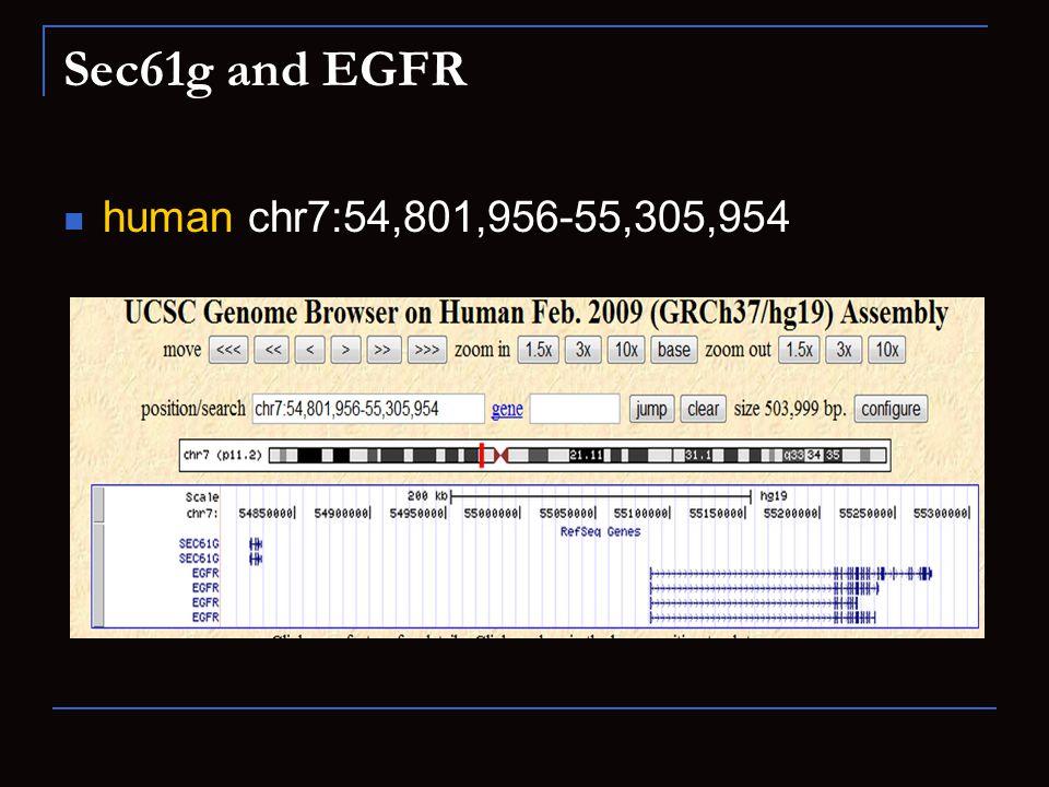 Sec61g and EGFR human chr7:54,801,956-55,305,954