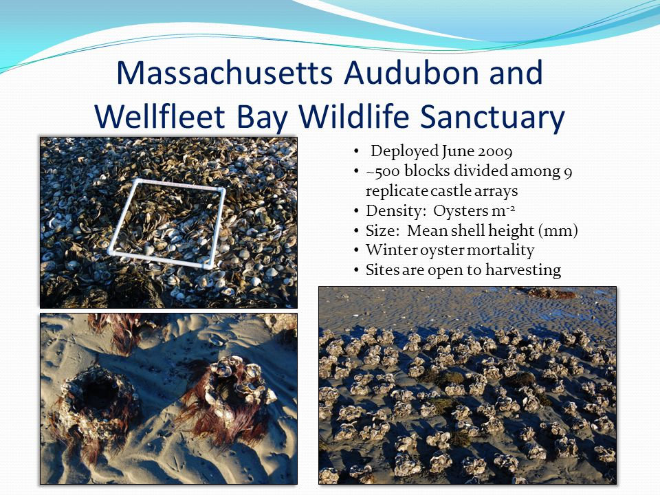 Massachusetts Audubon and Wellfleet Bay Wildlife Sanctuary Deployed June 2009 ~500 blocks divided among 9 replicate castle arrays Density: Oysters m -2 Size: Mean shell height (mm) Winter oyster mortality Sites are open to harvesting