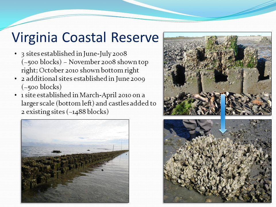 Virginia Coastal Reserve 3 sites established in June-July 2008 (~500 blocks) – November 2008 shown top right; October 2010 shown bottom right 2 additional sites established in June 2009 (~500 blocks) 1 site established in March-April 2010 on a larger scale (bottom left) and castles added to 2 existing sites (~1488 blocks)
