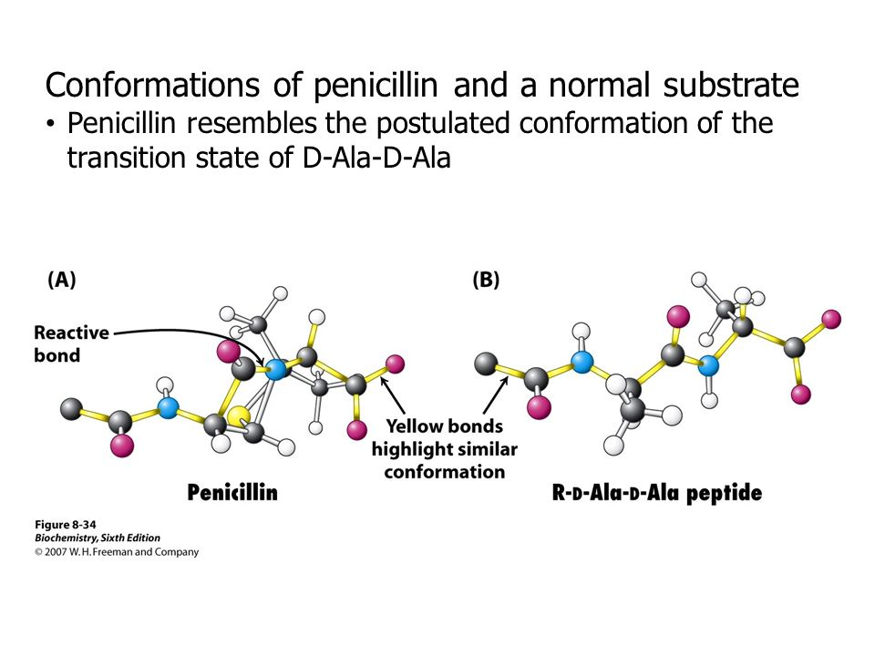 Conformations of penicillin and a normal substrate Penicillin resembles the postulated conformation of the transition state of D-Ala-D-Ala