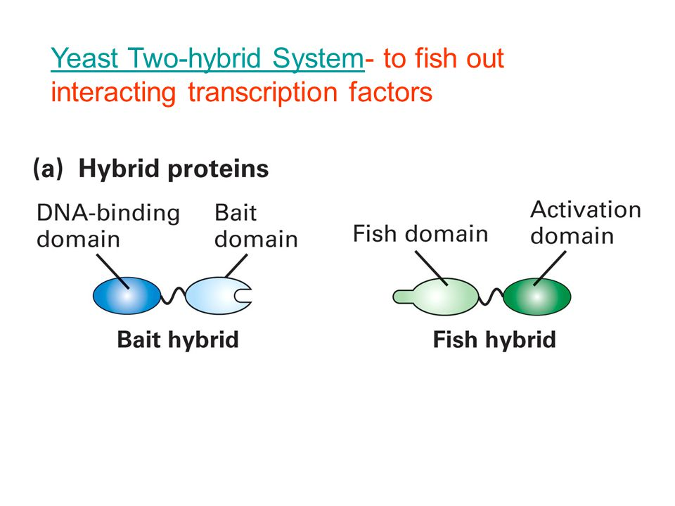 Yeast Two-hybrid SystemYeast Two-hybrid System- to fish out interacting transcription factors