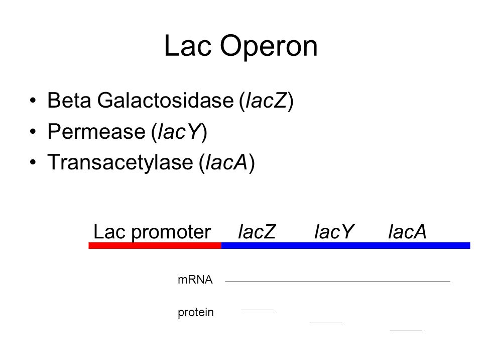 Lac Operon Beta Galactosidase (lacZ) Permease (lacY) Transacetylase (lacA) lacZ lacY lacALac promoter mRNA protein