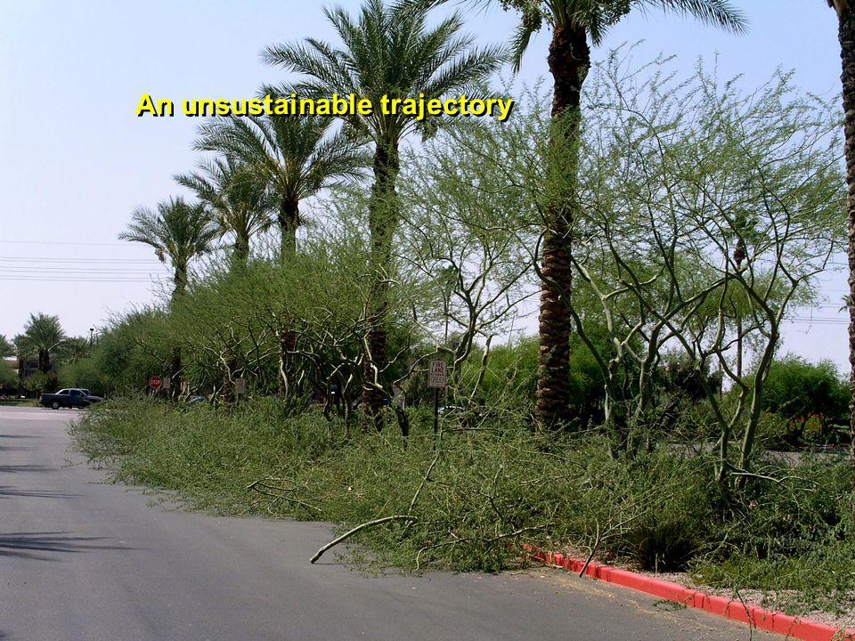 South Phoenix neighborhood Naturalizing trees – an urban forest resource.