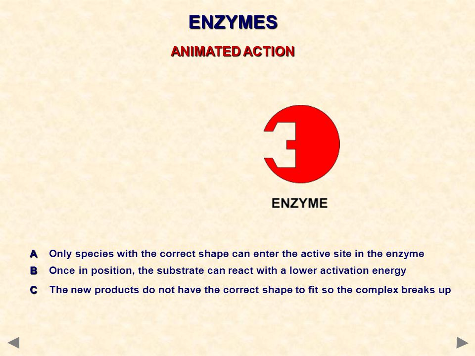 ENZYMES ANIMATED ACTION A A Only species with the correct shape can enter the active site in the enzyme B B Once in position, the substrate can react