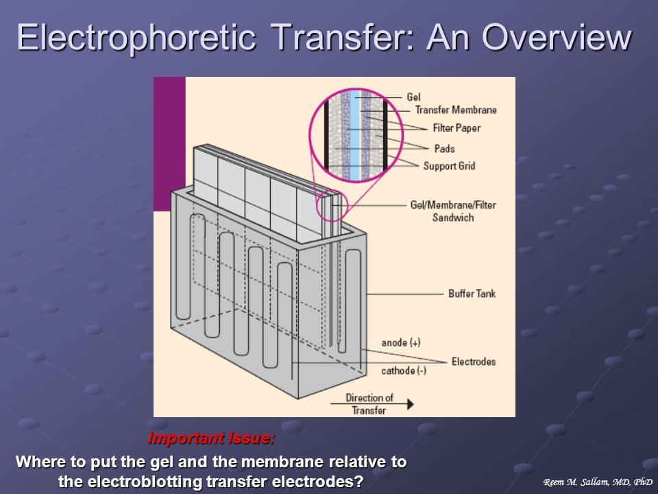 Electrophoretic Transfer: An Overview Important Issue: Where to put the gel and the membrane relative to the electroblotting transfer electrodes? Reem