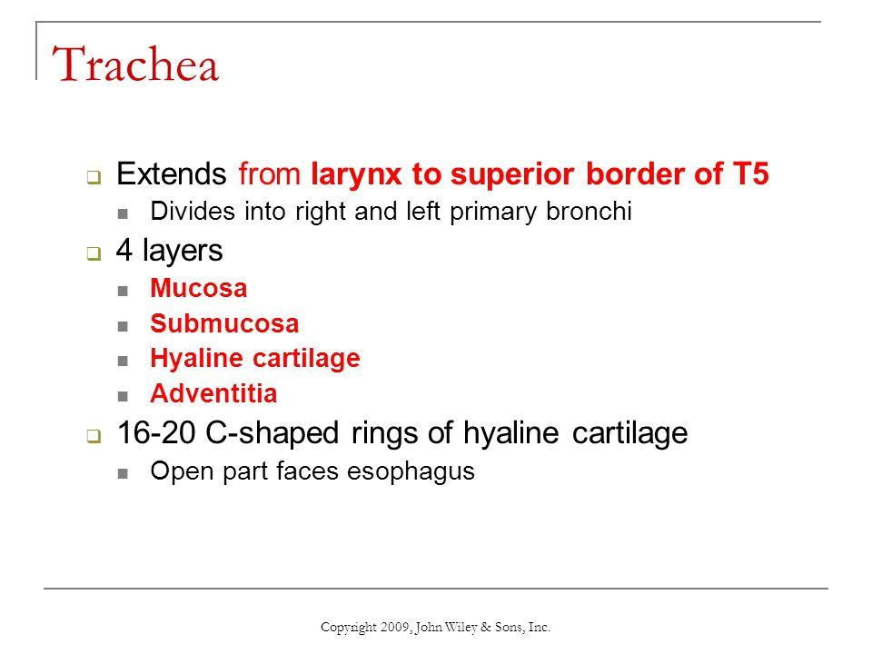 Trachea Extends from larynx to superior border of T5 Divides into right and left primary bronchi 4 layers Mucosa Submucosa Hyaline cartilage Adventiti