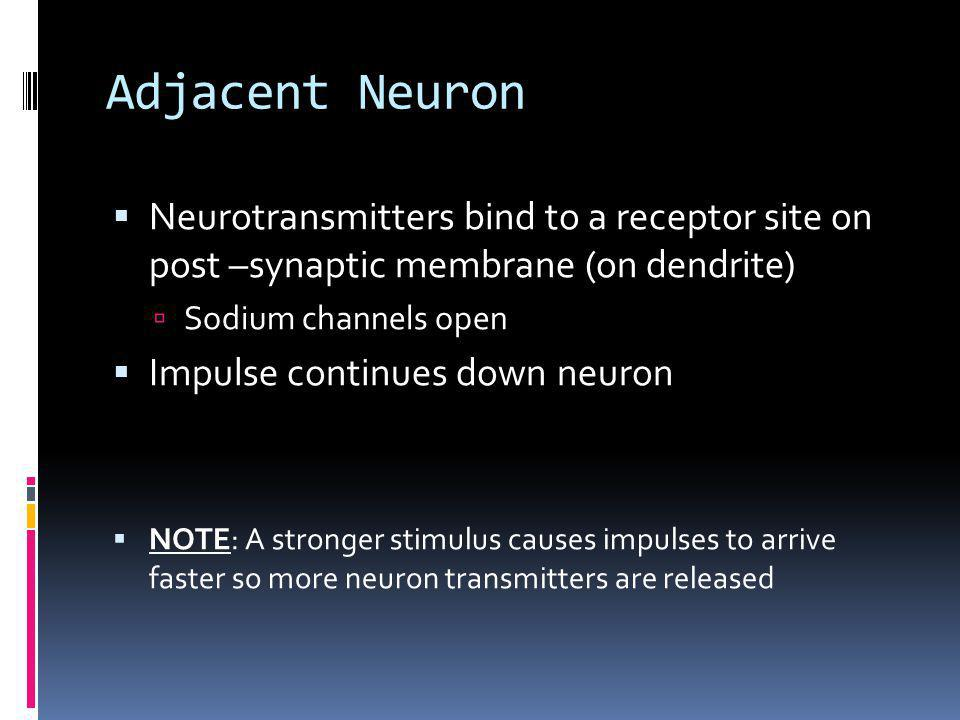 Adjacent Neuron Neurotransmitters bind to a receptor site on post –synaptic membrane (on dendrite) Sodium channels open Impulse continues down neuron NOTE: A stronger stimulus causes impulses to arrive faster so more neuron transmitters are released