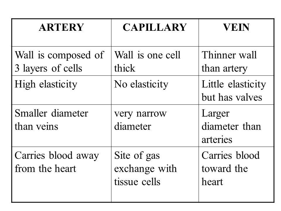 ARTERYCAPILLARYVEIN Wall is composed of 3 layers of cells Wall is one cell thick Thinner wall than artery High elasticityNo elasticityLittle elasticit