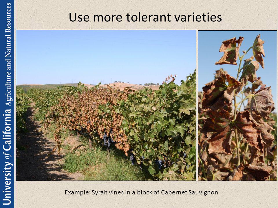 Use more tolerant varieties Example: Syrah vines in a block of Cabernet Sauvignon