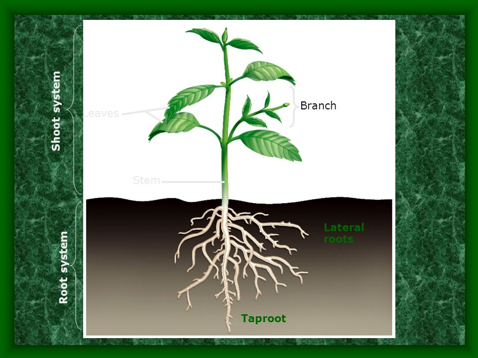 Taproot Lateral roots Branch Leaves Stem Shoot system Root system