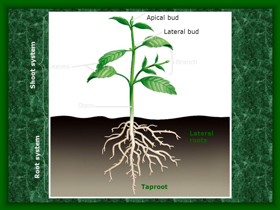 Specialized Stems C. Tuber (potato, caladium) –Food storage area –Short, thick underground stem