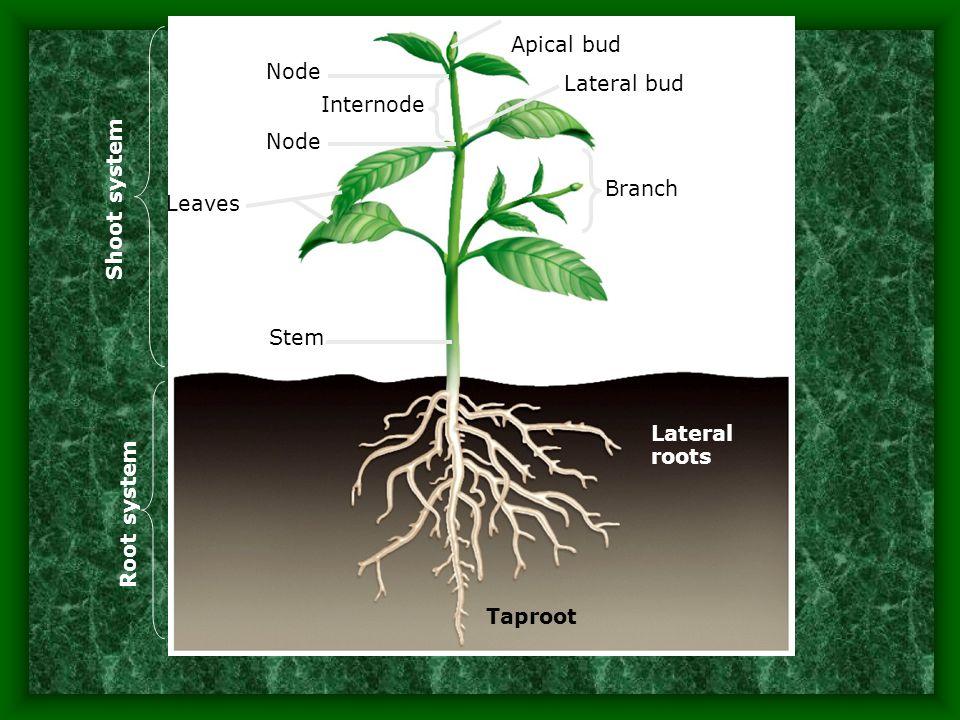 Rhizomes produce new individuals at nodes below ground.