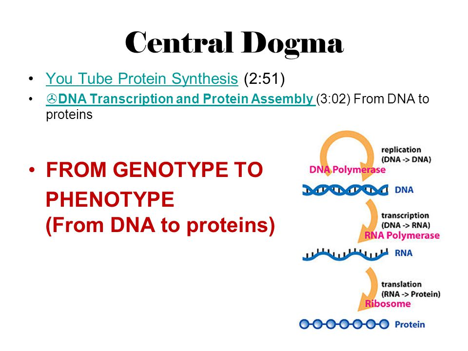 Central Dogma You Tube Protein Synthesis (2:51)You Tube Protein Synthesis DNA Transcription and Protein Assembly (3:02) From DNA to proteins DNA Trans