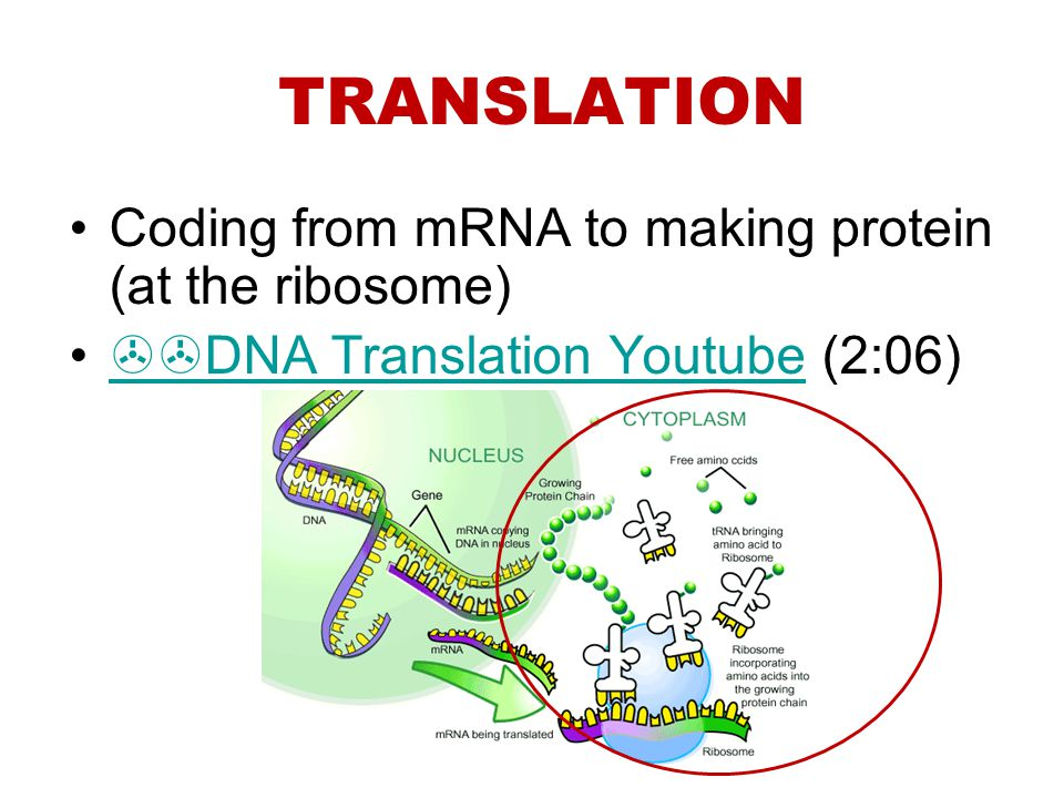 TRANSLATION Coding from mRNA to making protein (at the ribosome) DNA Translation Youtube (2:06) DNA Translation Youtube