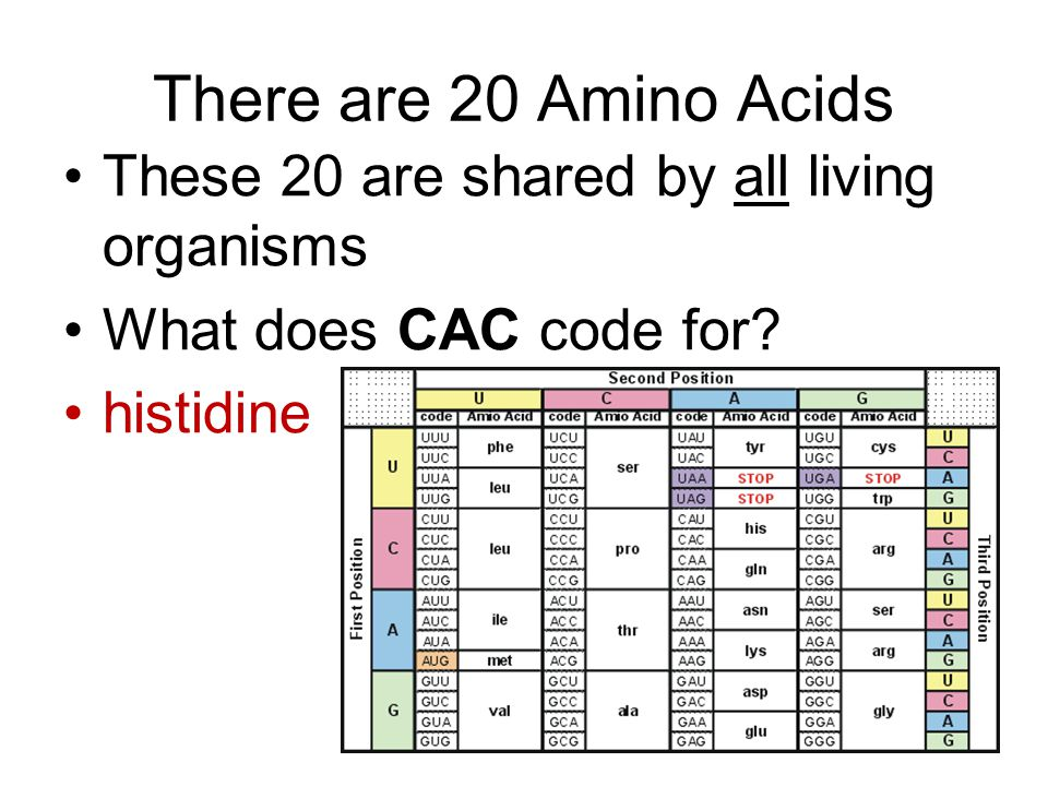 There are 20 Amino Acids These 20 are shared by all living organisms What does CAC code for? histidine