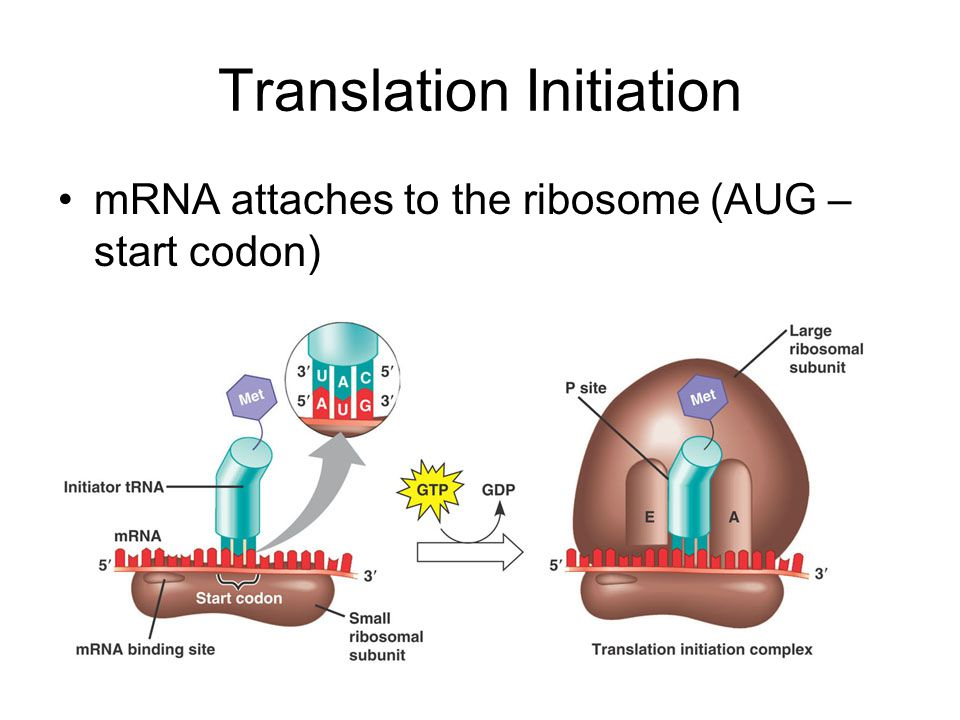 Translation Initiation mRNA attaches to the ribosome (AUG – start codon)