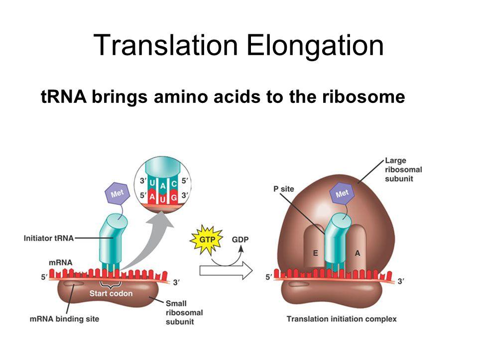 Translation Elongation tRNA brings amino acids to the ribosome