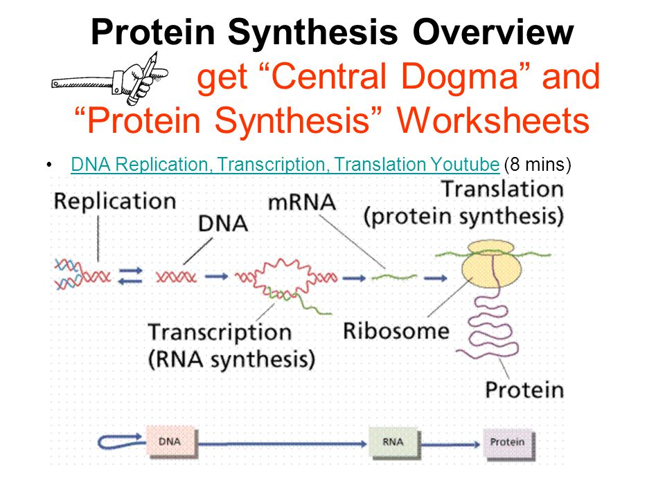 Worksheets Protein Synthesis Worksheet Answer Key protein synthesis worksheet answer key delibertad bhbr info