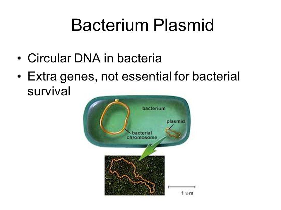 Bacterium Plasmid Circular DNA in bacteria Extra genes, not essential for bacterial survival