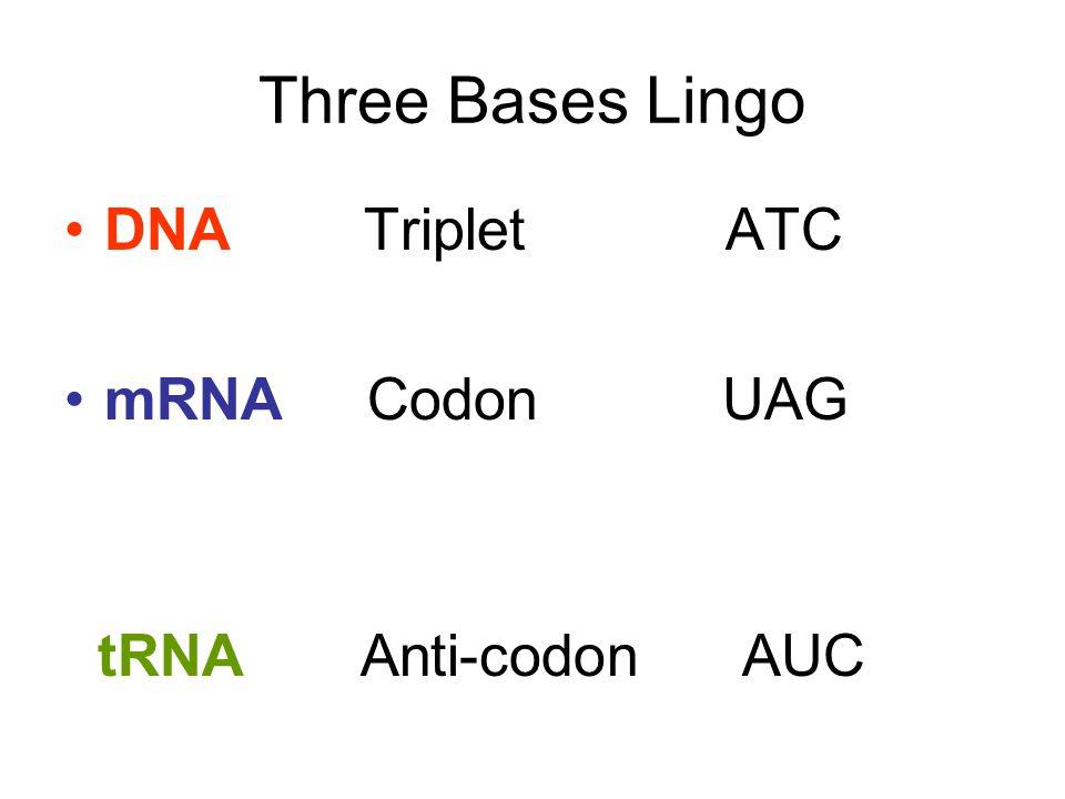 Three Bases Lingo DNA Triplet ATC mRNA Codon UAG tRNA Anti-codon AUC