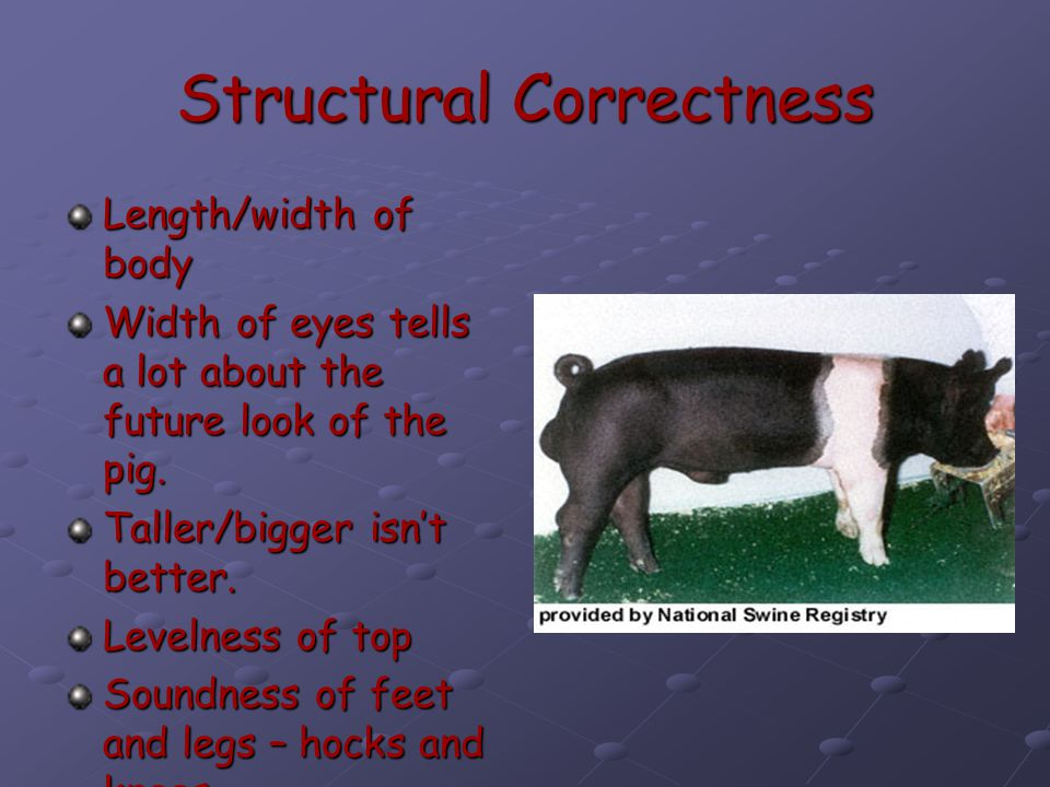 Structural Correctness Length/width of body Width of eyes tells a lot about the future look of the pig.