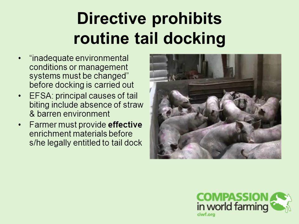 Directive prohibits routine tail docking inadequate environmental conditions or management systems must be changed before docking is carried out EFSA: principal causes of tail biting include absence of straw & barren environment Farmer must provide effective enrichment materials before s/he legally entitled to tail dock
