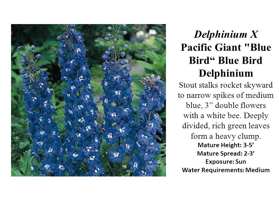 Delphinium X Pacific Giant