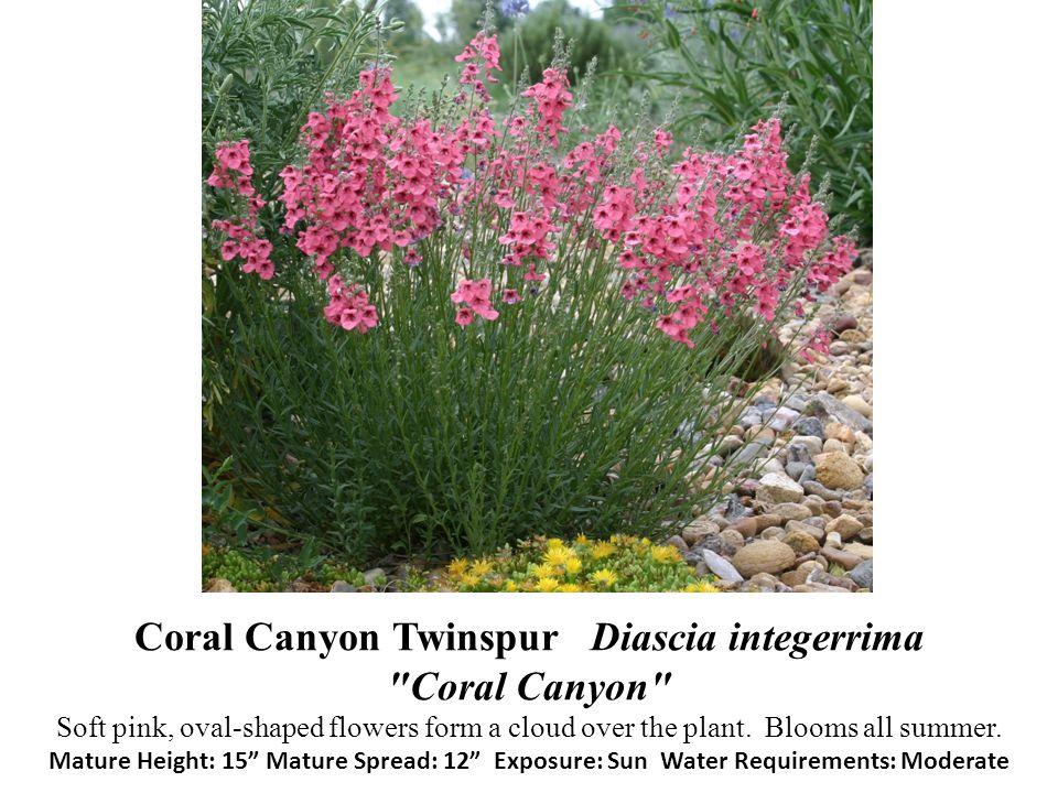 Coral Canyon Twinspur Diascia integerrima