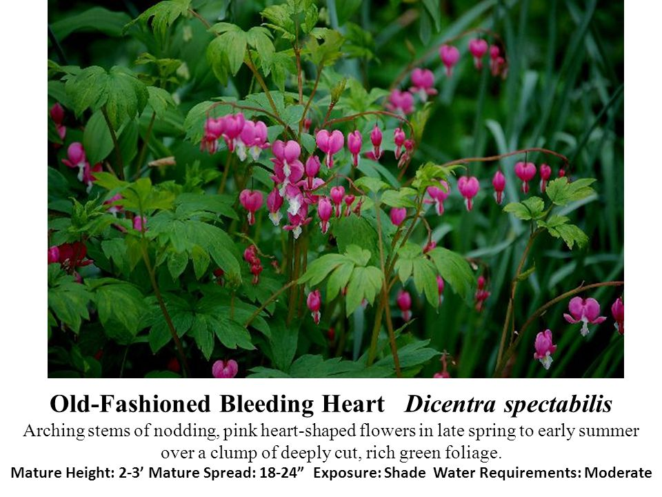 Old-Fashioned Bleeding Heart Dicentra spectabilis Arching stems of nodding, pink heart-shaped flowers in late spring to early summer over a clump of d
