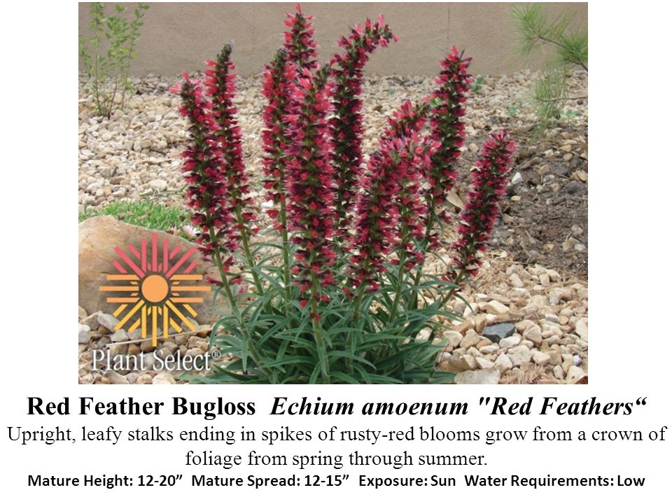 Red Feather Bugloss Echium amoenum