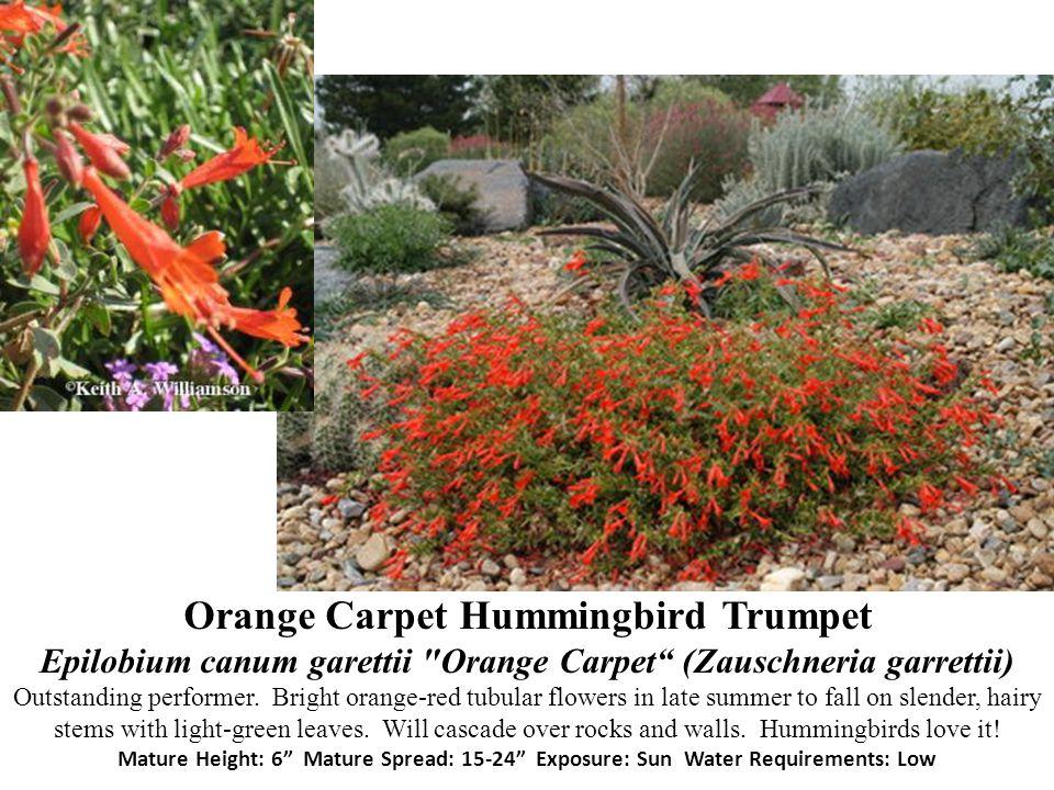 Orange Carpet Hummingbird Trumpet Epilobium canum garettii