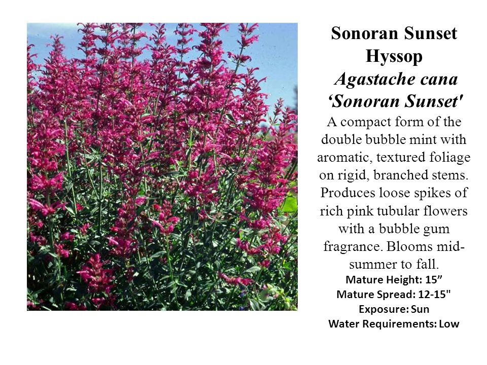 Sonoran Sunset Hyssop Agastache cana Sonoran Sunset' A compact form of the double bubble mint with aromatic, textured foliage on rigid, branched stems