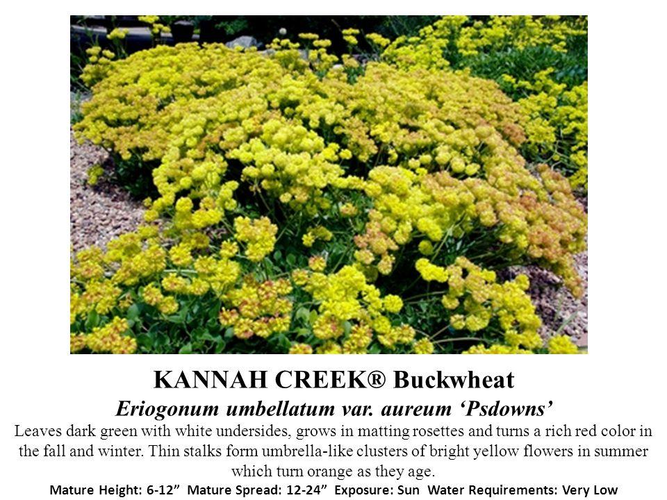 KANNAH CREEK® Buckwheat Eriogonum umbellatum var. aureum Psdowns Leaves dark green with white undersides, grows in matting rosettes and turns a rich r