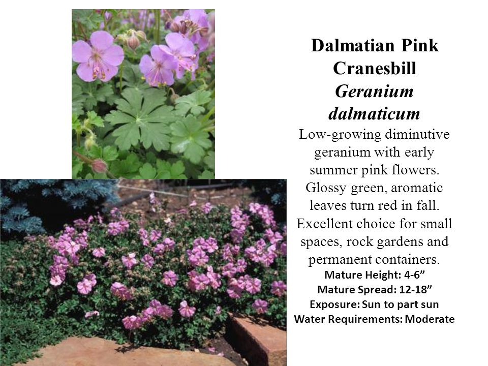 Dalmatian Pink Cranesbill Geranium dalmaticum Low-growing diminutive geranium with early summer pink flowers. Glossy green, aromatic leaves turn red i