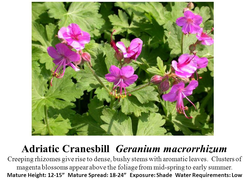 Adriatic Cranesbill Geranium macrorrhizum Creeping rhizomes give rise to dense, bushy stems with aromatic leaves. Clusters of magenta blossoms appear