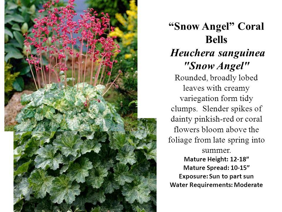 Snow Angel Coral Bells Heuchera sanguinea