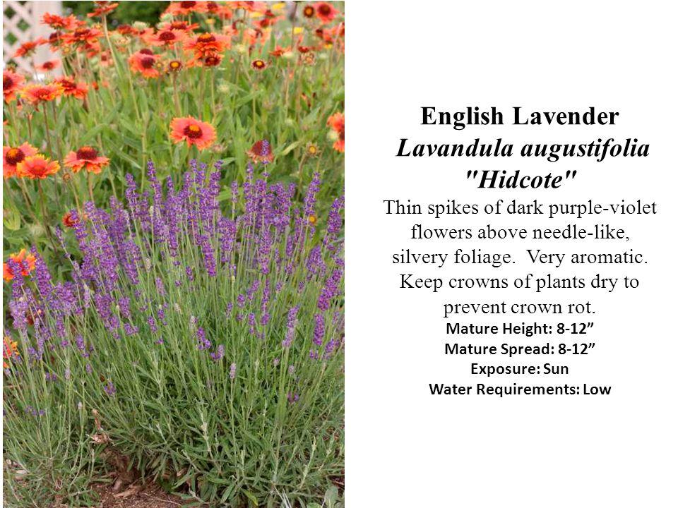 English Lavender Lavandula augustifolia